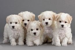 Bichon Frise Puppies For Sale Miami Gorgeous Puppies