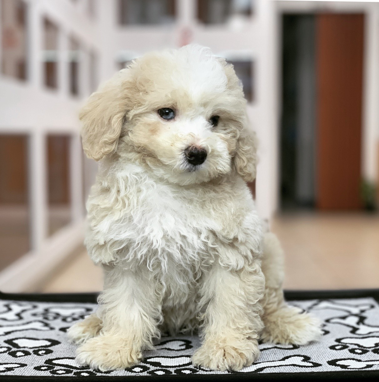 Puppies For Sale in Miami | Gorgeous Puppies