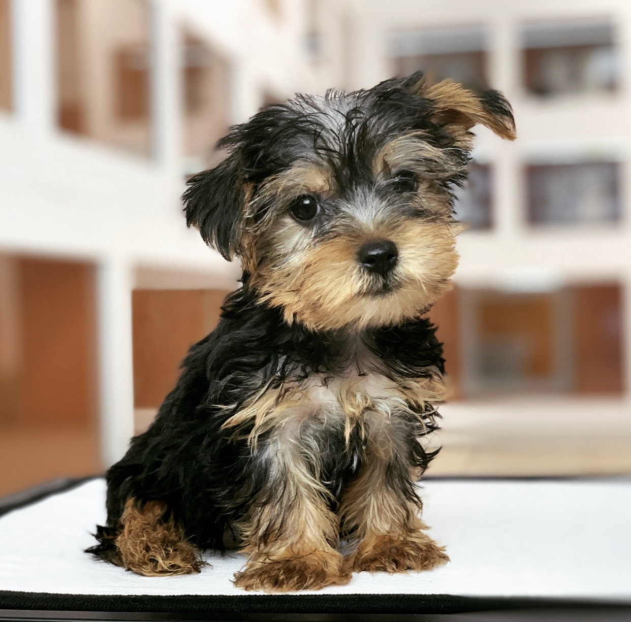 Puppies For Sale in Miami   Gorgeous Puppies